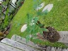 Wild Tamarind False Tamarind Live Lysiloma latisiliquum collected Pre Bonsai