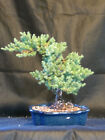 Bonsai Japanese Dwarf Juniper Bonsai Tree 76
