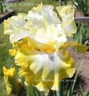 Tall Bearded Iris DOUBLE RINGER Rhizome White Yellow Perennial Awards SHIPS NOW