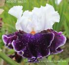 Tall Bearded Iris MERRY AMIGO Rhizome White Red Violet Perennial SHIPS NOW