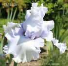 Tall Bearded Iris LARISSA Rhizome Icy Pale Blue Huge Blossom Perennial SHIPS NOW