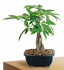 Bonsai Money Tree Indoor Live Plant 4 Years Old 10 14 Tall Best Gift Xmas