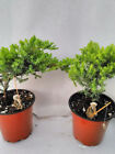 Two Tree Bonsai Juniper Live Plant Garden 4 Pot with Fishman Best Gift