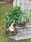 Ficus microcarpa Live green island indoor outdoor Tropical Bonsai tree thick