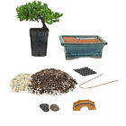 Bonsai Tree Starter Kit 2 Year Old Petite Japanese Juniper Best Gift