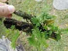 Resurrection Fern MossTerrarium Wardian Box Tropical Accent plant
