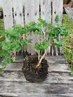 Natal Plum Live Carissa microcarpa Pre Bonsai bare root tree