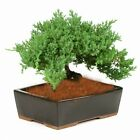 Bonsai Tree Japanese Dwarf Juniper GREAT GIFT   1