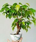 Ficus benjamina Live weeping fig indoors outdoors Bonsai tree easy to grow