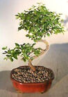Bonsai Sweet Plum GREAT GIFT  LIVE TREE