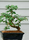 Bonsai Tree Fukien Tea GREAT GIFT  LIVE TREE
