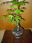 8 YEAR OLD FIELD GROWN 1 INCH TRUNK ACER PALMATUM JAPANESE MAPLE BONSAI