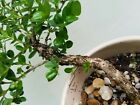 Natal Plum Bonsai Tree Live Carissa microcarpa Neat Bark