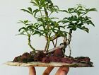 Schefflera arboricola Live Hawaiian Umbrella exposed roots Banyan Bonsai