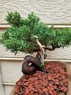 Kishu Juniper bonsai