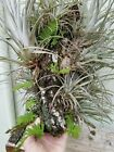 Live Tillandsia Resurrection fern on Oak twig natural wreath Terrariums