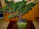 8 YEAR OLD SHOHIN SHIMPAKU ITIOGAWA JUNIPER 1 INCH TRUNK STYLED BY BOON BONSAI