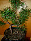11 YEAR OLD INFORMAL UPRIGHT JAPANESE BLACK PINE 1 2 INCH TRUNK BONSAI