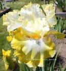 Tall Bearded Iris DOUBLE RINGER Rhizome White Yellow Perennial Awards PRE SALE