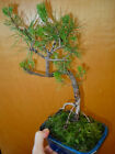 8 YEAR OLD EXPOSED ROOTS SHOHIN JAPANESE BLACK PINE 1 2 INCH TRUNK BONSAI