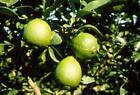 Key Lime Citrus Tree Live Grafted Fruit Plant 3 gallon 3 feet tall or taller