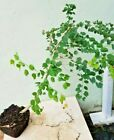 Bauhinia hookeri Queens Land Mountain ebony Rare weeping Bauhinia Bonsai tree