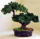 Monterey Juniper Double Trunk Preserved Bonsai Tree Preserved Not a Living Tr