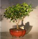 Flowering Tropical Dwarf Apple Bonsai Tree Extra Large