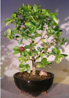 Flowering Dwarf Weeping Barbados Cherry Bonsai Tree Large