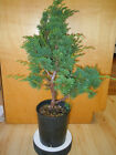14 YEAR OLD SHOHIN SHIMPAKU JUNIPER 3 4 INCH TRUNK INFORMAL UPRIGHT BONSAI