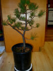 11 YEAR OLD INFORMAL UPRIGHT JAPANESE BLACK PINE ONE INCH NEBARI TRUNK BONSAI