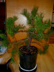 16 YEAR OLD INFORMAL UPRIGHT JAPANESE BLACK PINE ONE INCH TRUNK BONSAI