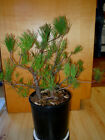 11 YEAR OLD FORMAL UPRIGHT 2 TREE JAPANESE BLACK PINE 3 4  1 INCH TRUNKS BONSAI