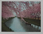 SAKURA, CHERRY BLOSSOM, BLOSSOMS : OLD 1936 VINTAGE JAPANESE PHOTOLITH of Japan