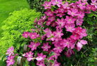 Sprinkles Clematis Rosy Lavender with Soft White Bars 25 Pot