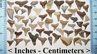 54 FLORIDA FOSSILIZED SHARK TEETH fossil tooth MIOCENE EPOCH bull tiger lemon