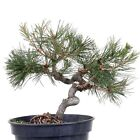 Bonsai Pinus thunbergii Japanese Black pine 174 22