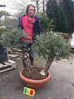 Mini Double trunk Gnarled Specimen Olive Tree Olea Europaea Bonsai