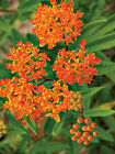 50+ Butterfly Common Swamp Showy Blood Milkweed Seed Pollinator Butterfly