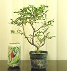 Chinese Elm for mame shohin bonsai tree great shape 2