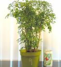 Fat Ming Aralia for mame shohin bonsai tree indoor outdoor 9