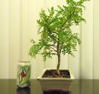 Fat Chinese pepper tree for shohin mame bonsai small leaves in ceramic pot