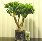 Huge Jade Gollum Crassula plant for shohin mame bonsai tree thick trunk 2