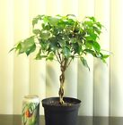 Ficus tree for shohin mame bonsai braided trunk tropical houseplant
