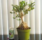 Dwarf Japanese boxwood for mame shohin bonsai tree exposed roots