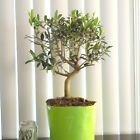 Fat European fruiting Olive for mame shohin bonsai tree thick trunk 7
