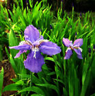 Blue Butterfly Iris Seed 5 Seeds Iris Tectorum Maxim Aquatic Herb Plant Hot H002