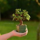 Cork Bark Little Jade Bonsai Tree Portulacaria Afra Succulent Shohin Mame