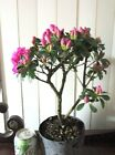 Purple blooming azalea for mame shohin bonsai tree