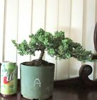 Japanese Juniper for shohin mame bonsai tree A